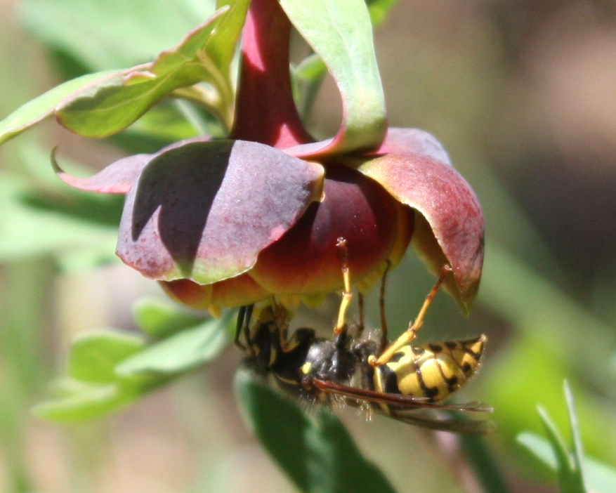 A vespine wasp Dolichovespula arenaria foraging on Brown's peony (Paeonia brownii) in the Blue Mountains of northeastern Oregon.