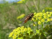 Large calypterate fly on parsnip flowers