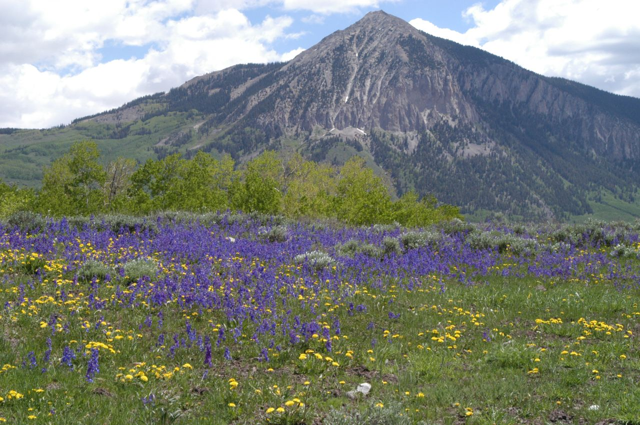 Taraxacum officinale and Delphinium nuttalianum near Mt.Crested Butte, Colorado