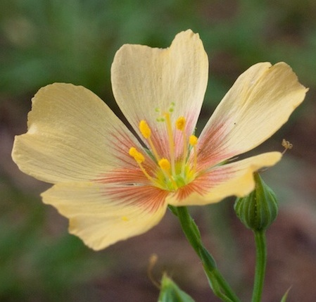 Photograph of Linum rigidum flower