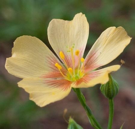 Photograph of Linum rigidum flower