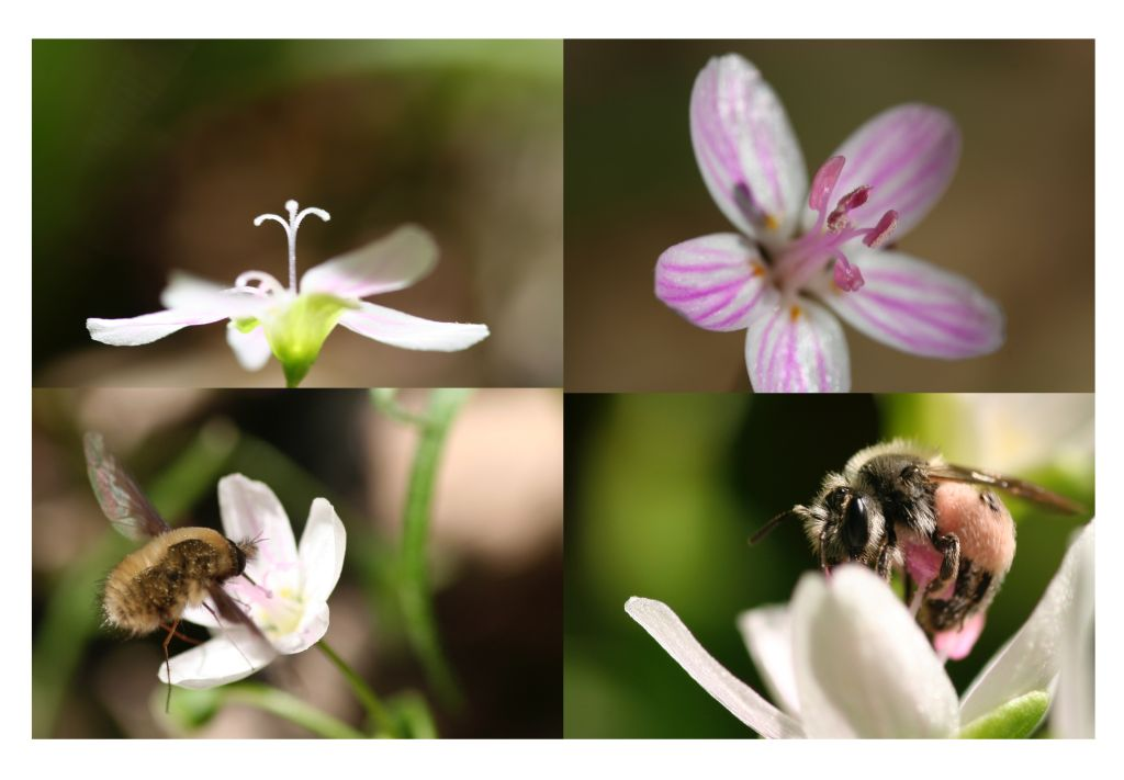 Photos of the Claytonia virginia pollination system, including a C. virginica female-phase flower, a C. virginica male-phase flower, a bee fly visiting C. virginica, and a pollen-specialist bee visiting C. virginica
