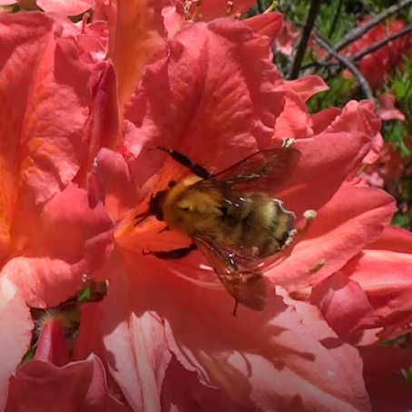 A queen of Bombus diversus visiting Rhododendron japonicum flower