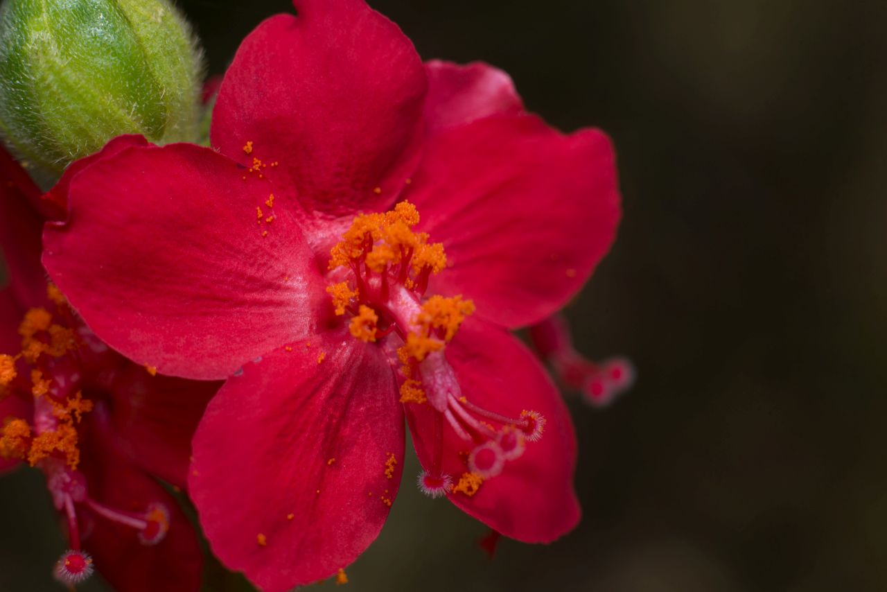 Hibiscus aponereus mature dehisced flowers and developing fruit. Photo taken at Mpla Reserach Centre by Juan C. Ruiz Guajardo