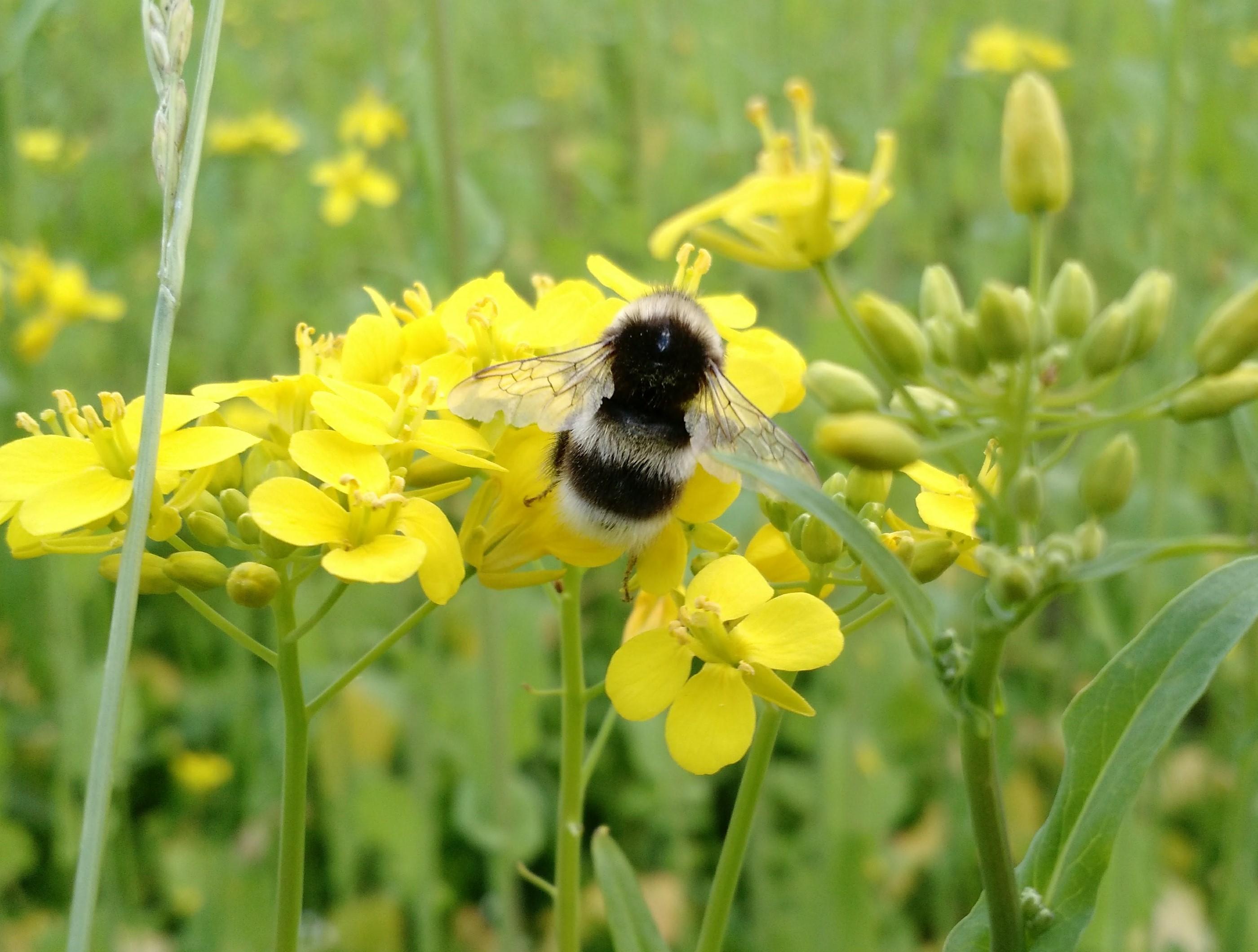 Bumblebee on turnip rape