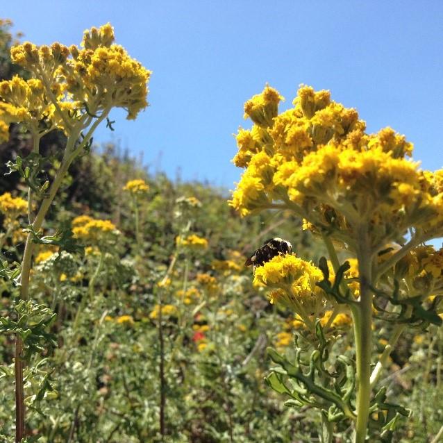 The native California bumble bee<i>Bombus caliginosus</i> foraging on <i>Eriophyllum staechadifolium</i>.
