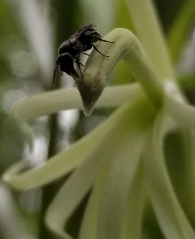 yellow-faced bee on a Clermontia persicifolia